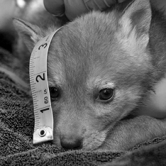 Research - measuring a coyote pup