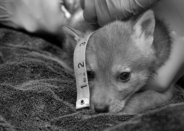 Coyote pup being measured by biologists